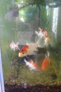 鯉もえさをもらおうと,人影を追ってきます。3月の中頃には水槽の掃除をしたいです。\