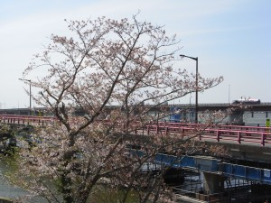 今日の校舎うらの桜です。\\